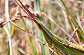 Grasshopper Sits On The Grass Close-up. Macro Photo Of A Grasshopper Sitting On A Sheet. Locust Sitt poster