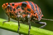 picture of minstrel  - Macro Photo Of A Graphosoma Lineatum Insect  - JPG