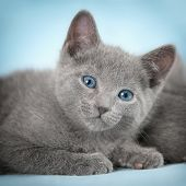 stock photo of blue tabby  - Kittens  - JPG