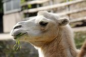 stock photo of camel-cart  - Portrait of a brown Camel with food - JPG
