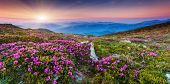 Magic pink rhododendron flowers on summer mountain.Carpathian, Ukraine, Europe. Beauty world.