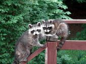 stock photo of raccoon  - Lovely pair of raccoons resting and starring on a deck during the day - JPG