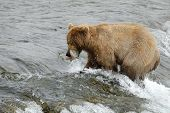 Brown bear catching the salmon