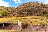 Peruvian  Vicuna. Farm Of Llama,alpaca,vicuna In Peru,south America. Andean Animal.llama Is South Am