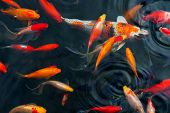 stock photo of koi  - Koi Carps Fish Japanese swimming (Cyprinus carpio) beautiful color variations natural organic