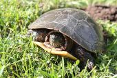 Midland Painted Turtle Laying Eggs Tu144 poster