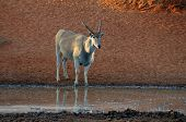 stock photo of eland  - Eland stand alone in South Africa nature daytime - JPG