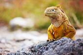 stock photo of lizards  - Land iguana endemic to the Galapagos islands - JPG