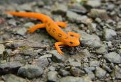 stock photo of newt  - Close-up of Red Spotted Eastern Newt (Red Eft) or salamander.