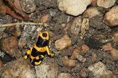 image of poison frog frog  - Yellow Poison Arrow Frog  - JPG