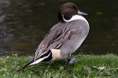 stock photo of pintail  - Northern Pintail Duck side profile by waters edge - JPG