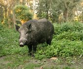 stock photo of boar  - Portrait of standing wild boar in forest - JPG