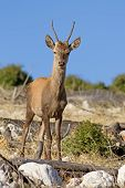 pic of cervus elaphus  - A young red deer  - JPG