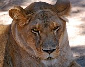 foto of lioness  - Face of an African lioness close up - JPG