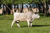 picture of hungarian  - Hungarian grey bull in the summer field - JPG