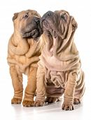 two chinese shar pei puppies sitting looking up isolated on white background - 4 months old
