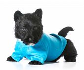 pic of scottish terrier  - Scottish terrier puppy wearing blue coat isolated on white background - JPG