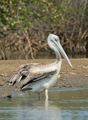 Pink-backed Pelican Standing On The Shore