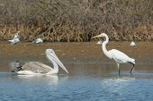 Pinked-back Pelican Meets Great White Egret