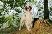 image of snipe  - Irish red and white setter near to trophies horizontal outdoors - JPG