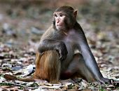 Close Up Of A Rhesus Monkey