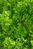 Fresh Parsley Plant