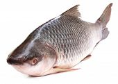 foto of freshwater fish  - Popular Rohu or Rohit fish of Indian subcontinent - JPG