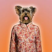 Yorkshire terrier wearing a shirt, orange background