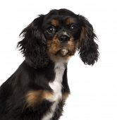 close-up of a Cavalier King Charles Spaniel puppy (4 months old), isolated on white