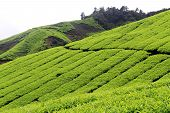foto of cameron highland  - Footpath and tea plantation in Cameron Highlands - JPG