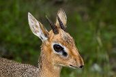 Close Up Of A Male Dik-dik Antelope