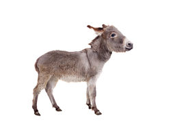 stock photo of headstrong  - Pretty Donkey isolated on the white background