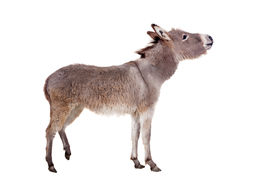 pic of headstrong  - Pretty Donkey isolated on the white background