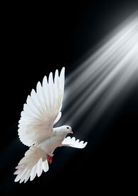 picture of holy-spirit  - A free flying white dove isolated on a black background - JPG