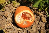image of field mouse  - A pumpkin growing in a field shows signs of being eaten by some little creature - JPG