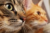 stock photo of mew  - Two cats closeup - JPG