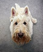 picture of scottie dog  - a cute white scotty sitting on the ground looking at the camera - JPG