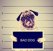 picture of mug shot  - a dog in front of a convict poster getting a mug shot taken toned with a retro vintage instagram filter effect - JPG