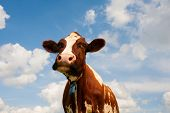 stock photo of cow  - Dutch cow - JPG