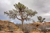 picture of collins  - pine tree with magpie nest  on sandstone cliff - JPG