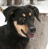 picture of spotted dog  - Black dog with red spots standing on snow background - JPG