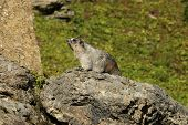 foto of marmot  - Hoary Marmot on a Rock Glacier National Park Montana - JPG