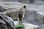 picture of snow-leopard  - Snow Leopard at the Central Park Zoo Manhattan New York USA - JPG