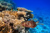 pic of green turtle  - Coral reef of the tropical water with green turtle - JPG