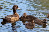 Tufted Duck, Pochard, Aythya Fuligula