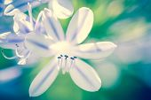 pic of six-petaled  - beautiful picture of a white flower with an unfocused background in blue and green  - JPG