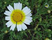 foto of chrysanthemum  - Garland chrysanthemum  - JPG