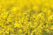 image of rape-field  - Blooming canola field  - JPG