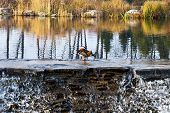 image of duck pond  - ducks on an autumn pond with cascades - JPG