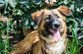 stock photo of hairy tongue  - Beautiful brown dog resting on grass - JPG